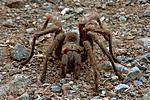 so cal tarantula